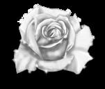 Rosa hada del invierno