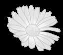 Pequeña margarita